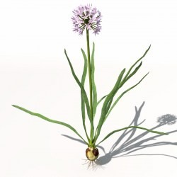 xfrogplants-onion-3d-model-max-obj-3ds-c4d-lwo-lw-lws-ma-mb6